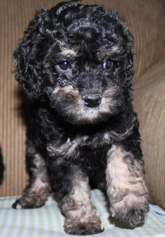 Another gorgeous Phantom Australian Labradoodle available at DownUnder Labradoodles USA www. Australian Labradoodle, Labradoodles, Cute Doodles, Usa, Dogs, Animals, Animales, Animaux, Cute Doodle Art