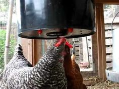 Bucket-style chicken waterer. This is the page to buy them, but great info at the bottom for DIY too. (Like, why is it black?)