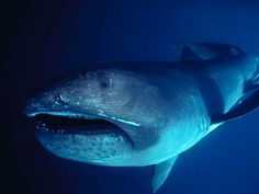 The megamouth shark, shown here, is an extremely rare species of deepwater shark. Its massive mouth extends past its eyes and is equipped with about 50 rows of small, sharp teeth on each jaw. Weird Sharks, Megamouth Shark, Le Revenant, Basking Shark, Shark Facts, Shark Pictures, Animal Pictures, Deep Sea Creatures, Rare Species