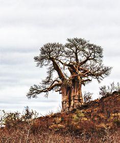 Baobab tree in Kruger Park.  #baobab #krugerpark #trees