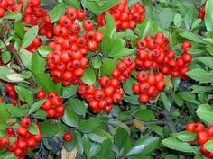 25 SCARLET FIRETHORN Pyracantha Coccinea Flower Shrub Bush Seeds by Seedville. $2.00. PLANT HEIGHT:  8 - 10 Feet  . . .  PLANT SPACING:  10 - 12 Feet. LIGHT REQUIREMENTS:  Sun  . . .  SOIL / WATER:  Average - Dry. BLOOM TIME:  Mid Spring  . . .  COLOR:  White flowers, Evergreen leaves, and Red berries. Birds, bees, and butterflies will enjoy this bush year round, but the birds absolutely adore the red berries that are produced in fall. As the name suggests, this bush ...