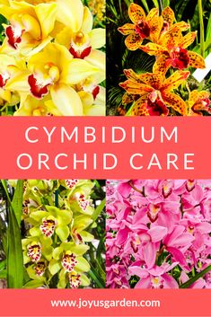 garden care yards Cymbidium Orchids are beautiful amp; not hard to care for at all. Learn what they like amp; what you need to do to keep yours going strong. Water Culture Orchids, Orchids In Water, Indoor Orchids, Dendrobium Orchids, Orchids Garden, Purple Orchids, Cymbidium Orchid Care, Jewel Orchid, Orchid Cactus