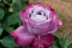 Blue River - HT, mauve, 35 petals, 1984, rated 5.1 (not recommended) by ARS.