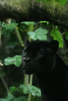 Black Panther....absolutely gorgeous                                                                                                                                                                                 More