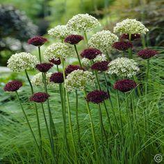 Allium Combo Nigrum / Atropurpureum - 20 bloembollen kopen veilig online bestellen