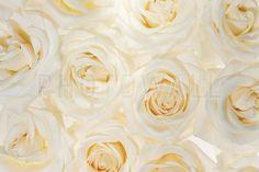Nice Roses 3 - Fototapeter & Tapeter - Photowall