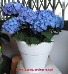 Hortensia azul.