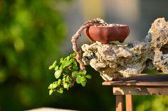 Mini cascade portulacaria afra bonsai tree.