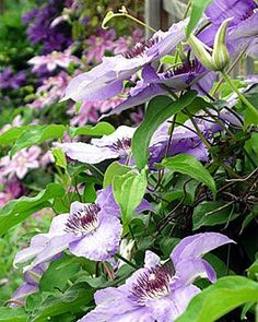Clematis: prefer roots in the ground and kept cool and well mulched.  Tops like at least 6 hrs of sunlight.  They climb by wrapping their leafe stems around something.  Use fishing line or twine to give it something to hold onto when using a trellis.