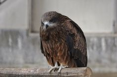 Free Image on Pixabay - Animal, Bird, Wild Birds, Raptor Free Pictures, Free Images, Wild Birds, Bald Eagle, Animals, Animales, Animaux, Animal, Animais