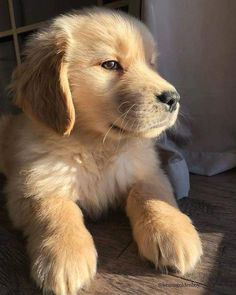Exceptional pretty dogs info are offered on our internet site. look at this and you will not be sorry you did. Retriever Puppy, Dogs Golden Retriever, Golden Retrievers, Mundo Animal, My Animal, Australian Shepherd Puppies, Cute Dogs And Puppies, Baby Dogs, Doggies