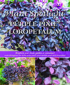With its bold foliage and weeping habit, what's not to love about Purple Pixie® Loropetalum? This petite beauty packs a powerful punch in the garden!