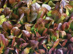 Cimarron Lettuce Seed