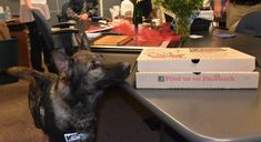 Newport Oregon Police Dept K-9 Nero sniffs out the pizza!