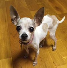 LilyLu is an adoptable Chihuahua searching for a forever family near Alpharetta, GA. Use Petfinder to find adoptable pets in your area.