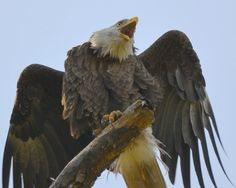 awesome eagle face 44 by jetskibrian