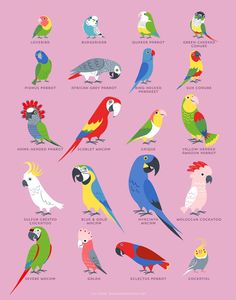 Your place to buy and sell all things handmade PARROTS art print Exotic Birds, Colorful Birds, Tropical Birds, Bird Drawings, Animal Drawings, Drawing Birds, Parrot Drawing, Parrot Pet, Caique Parrot