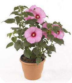 hibiscus mauvelous - Google Search