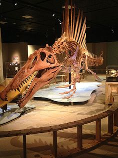 The timing of the National Geographic Museum's newest exhibit, Spinosaurus: Lost Giant of the Cretaceous, is rather auspicious — for them and for us. Just months after the dinosaurs . Prehistoric Wildlife, Prehistoric World, Prehistoric Creatures, Dinosaur Skeleton, Dinosaur Bones, Dinosaur Fossils, Jurassic World, Cinema Tv, Extinct Animals