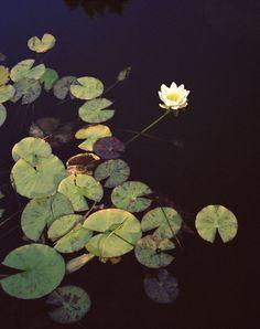 Lotus - ellixelle
