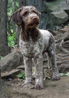 Lagotto Romagnolo  by steve_rousseau on Flickr -- an Italian retriever... *Click or check out this site for more interesting info and photos: http://www.flickr.com/groups/lagottolovers/