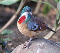 Mindanao Bleeding-Heart Dove -  (Gallicolumba crinigera) It is endemic to the Philippines.