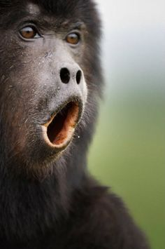 Howler monkeys have short snouts and wide-set, round nostrils. Their noses are very keen, and the Howler monkey can smell out its food (primarily fruit and nuts) up to 2km away. Their noses are usually roundish snout-type, and the nostrils have many sensory hairs growing from the interior.