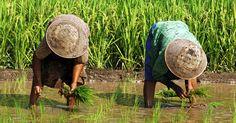 Jatiluwih rijstvelden - Bali- Indonesie