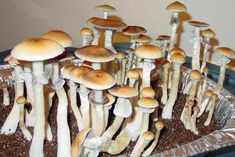 "Psilocybin Cubensis or California gold tops in a PF Tek styled grow. Can be very potent. These little buddies look like there one day away from a high yield hour channeling session. Look up ""PF Tek"" technique to learn how to DIY. Mushroom Spores, Mushroom Cultivation, Edible Mushrooms, Stuffed Mushrooms, Growing Mushrooms At Home, Psilocybin Mushroom, Mushroom Grow Kit, Treasure Coast, Organic Protein"