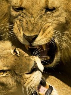 Lions, Lion Pair Mating, Masai Mara, Kenya Photographie par Roy Toft sur AllPosters.fr