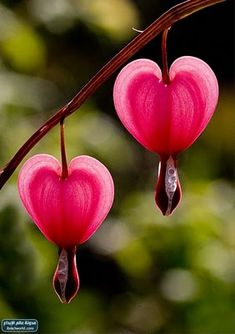 Bleeding Hearts...