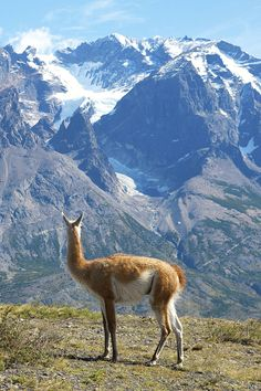 10 Family Vacation Ideas | Chile. Guanaco in Torres del Paine National Park.