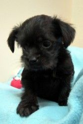 Dallas is an adoptable Brussels Griffon Dog in Minneapolis, MN. Dallas is a playful, curious and active little guy. His momma came to us about to give birth. She appears to be a brussels/cairn terrier...