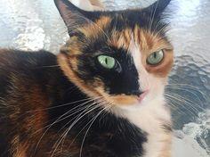 Reposting @sashathecalicocat: Green eyes can't lie 🐈