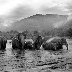 Photo by: @renaeffendiphoto // An elephant herd enjoys a bath in the river at the Elephant Nature Park in Chiangmai, Thailand. These elephants were salvaged from being brutally exploited in the logging of the surrounding jungle. The older females have adopted and taken care of the orphaned young, whose mothers had died from over-exersion. For more stories follow me here: @renaeffendiphoto @natgeo @natgeocreative @thephotosociety #elephants #nature #preservation #animals #river…