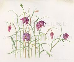 Fritillaria Meleagris Limited Edition Giclee Print
