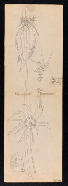 Hunterian Art Gallery Mackintosh collections: GLAHA 53012/13 Scabiosa!