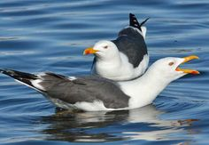 Lesser Black-Backed Gull (Larus fuscus) Atlantic coasts of North America and Europe