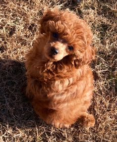 Little Rosie Adeline my Red Toy Poodle