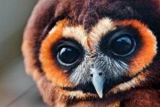 #Tawny #Owl #Brown #Close #Up #Animal #Full #Free #Wallpaper #Wallpapers #4K #HD #Mobile #Desktop #Phone #Iphone #Android #1920x1080 #1080p