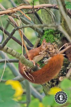 Last photography of this red squirrel trying to take the bark off a tree.  In this position it looks like the Firefox logo :)  It was difficult to capture this photo. No light, 3200 ISO on Canon 60D is not really good, and this little squirrel was moving very fastly, trying very hard to push its ball of bark.  #squirrel