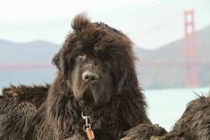 Big Dogs, Dogs And Puppies, Gentle Giant, Brown Bear, Mans Best Friend, Dog Breeds, Animals, Newfoundland Dogs, Tips