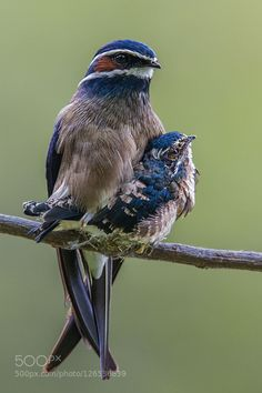 Whiskered Tree Swift