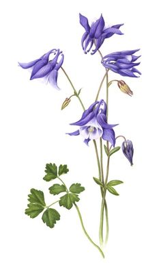 Image result for botanical pictures columbine watercolor