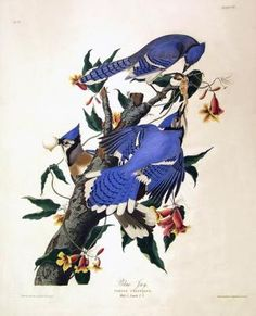 "John James (Jean-Jacques) Audubon - - Blue Jay ""Cyanocitta cristata"" - Illustration from his color-plate book entitled ""The Birds of America"" Audubon Prints, Audubon Birds, Audubon Park, Jay Azul, Jacque Louis David, Sibylla Merian, Vintage Bird Illustration, Blue Jay Bird, Orange Bird"