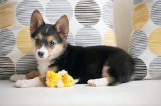http://www.dailydogtag.com/wp-content/uploads/2012/05/Corgi-Australian-Shepard-Mix-Puppy-0006.jpg