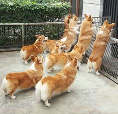 What the Corgi are they looking at? Cute Puppies, Cute Dogs, Dogs And Puppies, Teacup Puppies, Welsh Corgi Pembroke, Corgi Facts, War Craft, Corgi Pictures, Mundo Animal