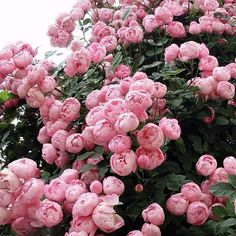 Pink peonies bush