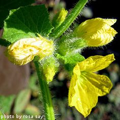 Cantaloupe Blossom- How to care for canteloupe plants