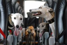 The REAL greyhound bus